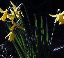 Daffs in morning sunlight by Rivendell7