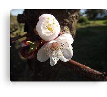 Peach Blossom... Canvas Print