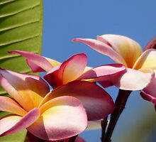 Frangipani Tree Flowers by solena432