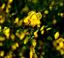 yellow May flower by lfoliveira