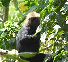 Lion Tailed Macaque by Sylvie Lebchek