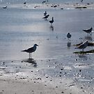 Terns on Tern Island by kalaryder