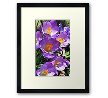 Crocus - First Signs of Spring Framed Print