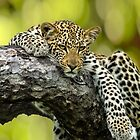 Relaxing Leopard by J. Day