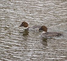Two Female Goldeneyes by Thomas Young