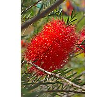 Red Bottle Brush Photographic Print