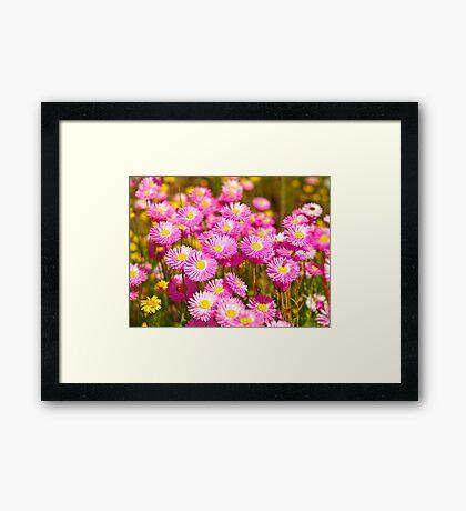 Pink Everlasting Wildflowers Framed Print