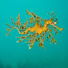 Leafy Seadragon. by James Peake