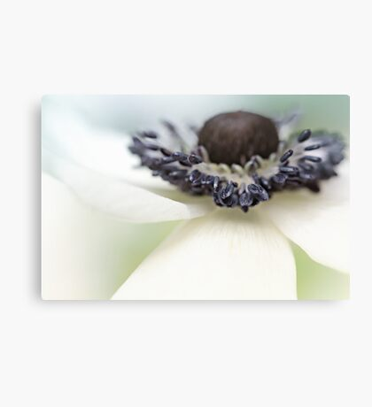 Gorgeous Anemone.... Canvas Print