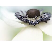 Gorgeous Anemone.... Photographic Print