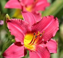 Daylily named Pardon Me by JMcCombie