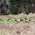 Elk by Annie Underwood