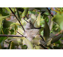 "Costa""s Hummingbird on Nest Photographic Print"