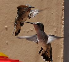 HUMMINGBIRD ANNA'S IN FLIGHT PASSING EACH OTHER by JAYMILO