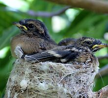 Grey fantail chicks by michelle roseman