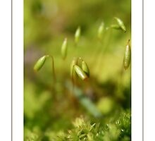 Moss sporangia by naturek