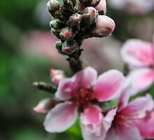 Peach Flowers by heatherfriedman