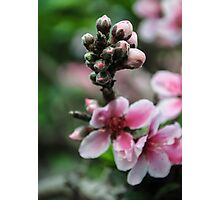 Peach Flowers Photographic Print