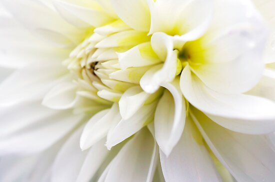 Beauty White by Clare Colins