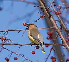 Cedar Waxwing Eating Berries 2 by Thomas Young