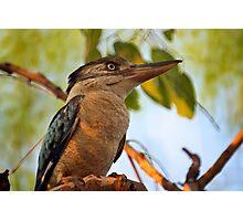 Blue Winged Kookaburra  Photographic Print