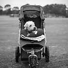 Dog in a pushchair by paulsborrett