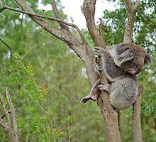 Koala, Near Melbourne, Australia by paulsborrett