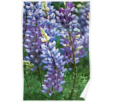 Dancing Lupines - Spring In Central California Poster