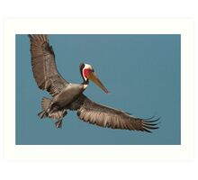 California Brown Pelican With Stretched Wings Art Print