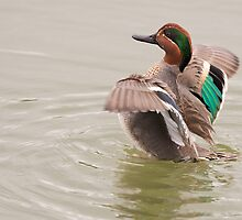 Green-winged Teal by Ram Vasudev
