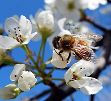 HONEY BEE ON A BLOSSOM (5) by Sandra  Aguirre