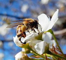 HONEY BEE ON A BLOSSOM (10) by Sandra  Aguirre
