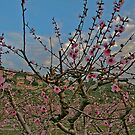 Almond in Pink by Nira Dabush