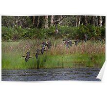 Ibis Flock Poster