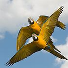Blue-and-yellow Macaws by hanspeters
