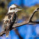 Young Kookaburra by Rick Playle