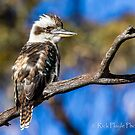 Young Kookaburra by Rick Playle