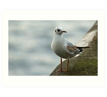 Black-headed Gull Art Print