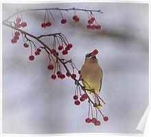 Cedar Waxwing Eating Berries 3 Poster