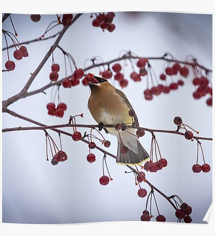 Cedar Waxwing Eating Berries 4 Poster