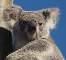 Fluffy-Eared Koala by stevealder
