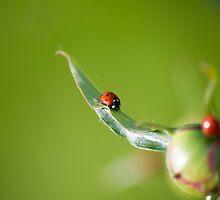 Ladybug on Flower by cinema4design