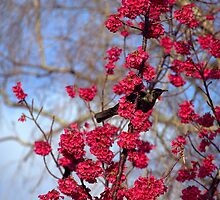 And a Tui in a cherry tree by terraincognita