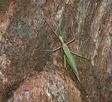 Green Insect, Royal National Park, Australia 2006 by muz2142