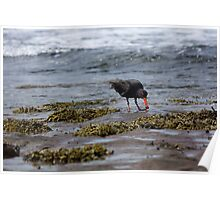 Sooty Oystercatcher With Food Poster