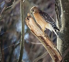 Portrait of a Red-Shouldered Hawk by Bill Wakeley