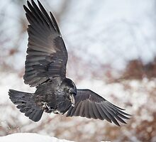 Raven In Flight by Bill Wakeley