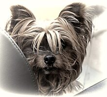 Yorkshire Terrier by lynn carter