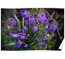 Spring  Forth Crocuses Poster