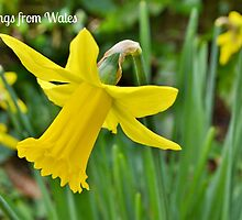 Daffodils Postcard or Greetings Card by Paula J James